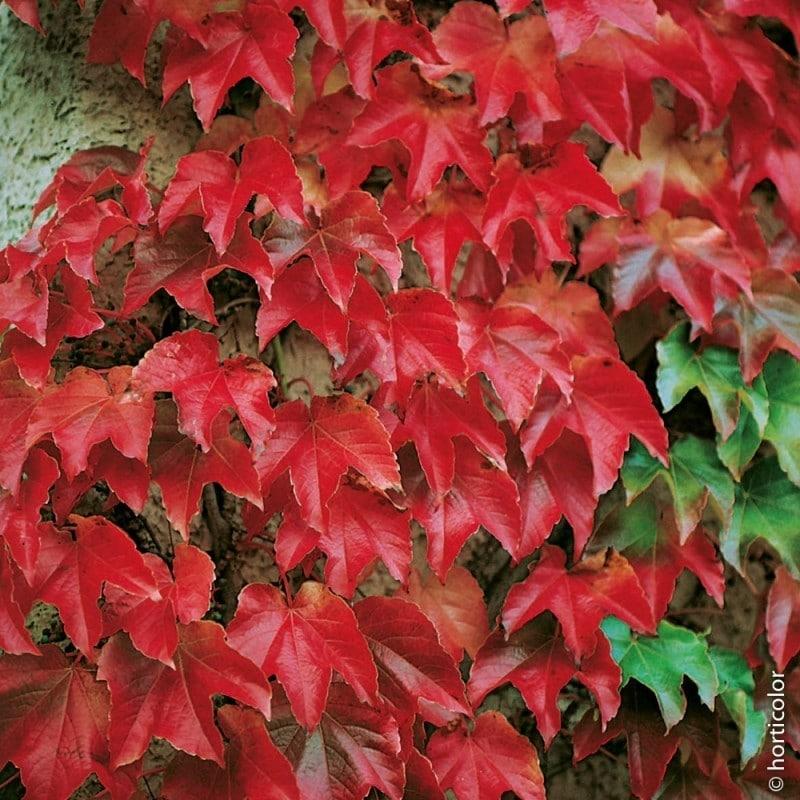 Plantes grimpantes véranda   La vigne vierge : en automne, elle se pare de somptueuses couleurs