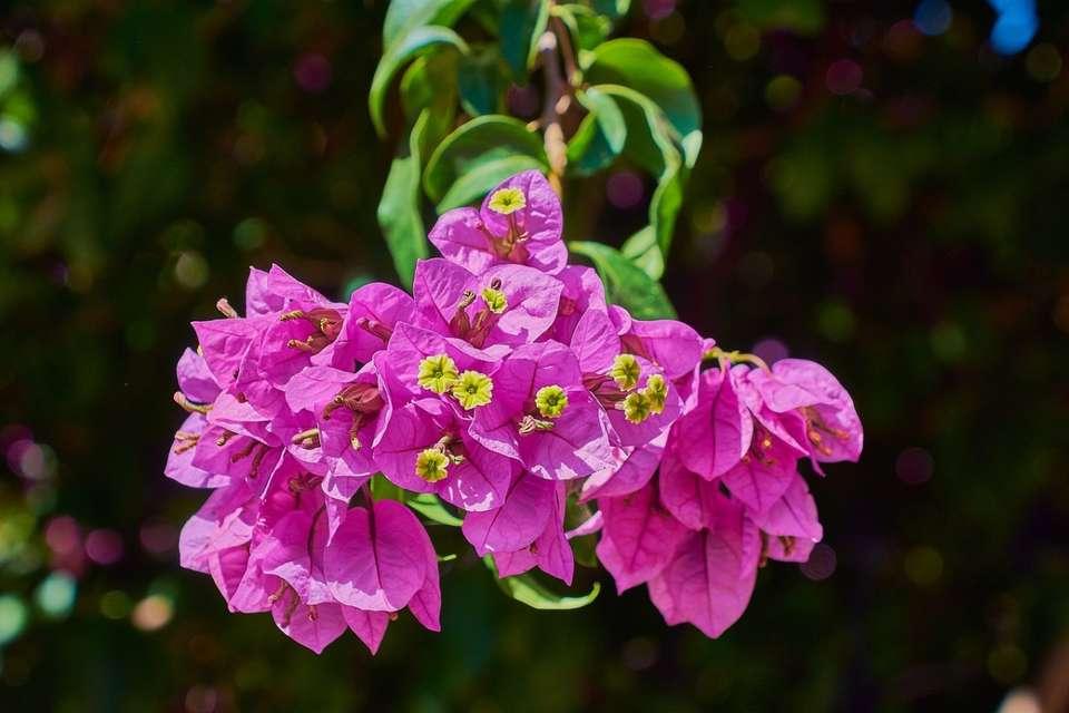 Plantes pour une véranda froide : le joli bougainvillier | Source photo